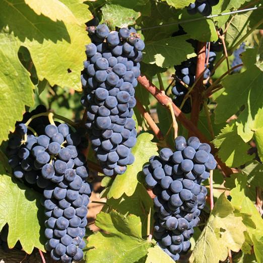Udruga vinogradara i vinara Grozd